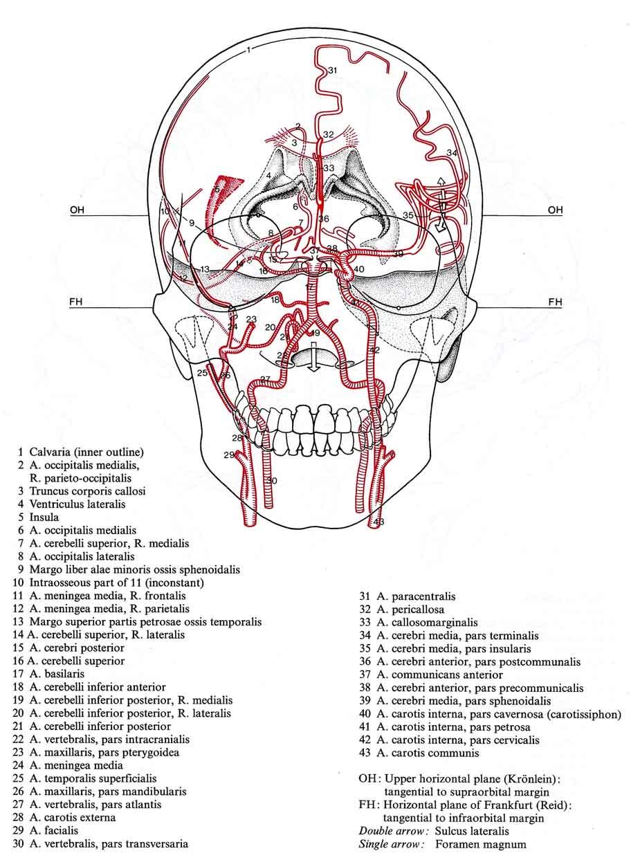 Wunderbar Arteria Cerebri Media Anatomie Bilder - Menschliche ...