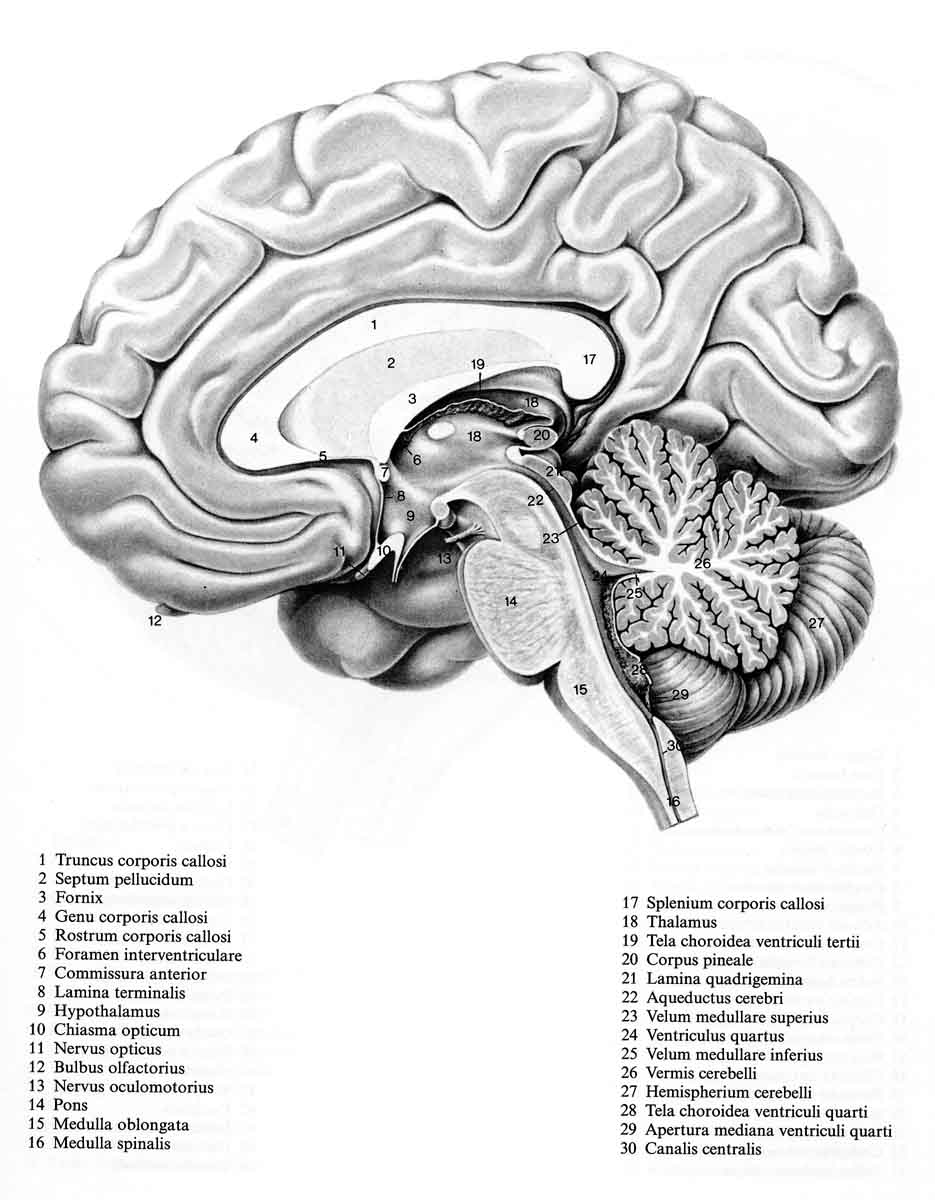 neuroanatomy / SurfaceAnatomy