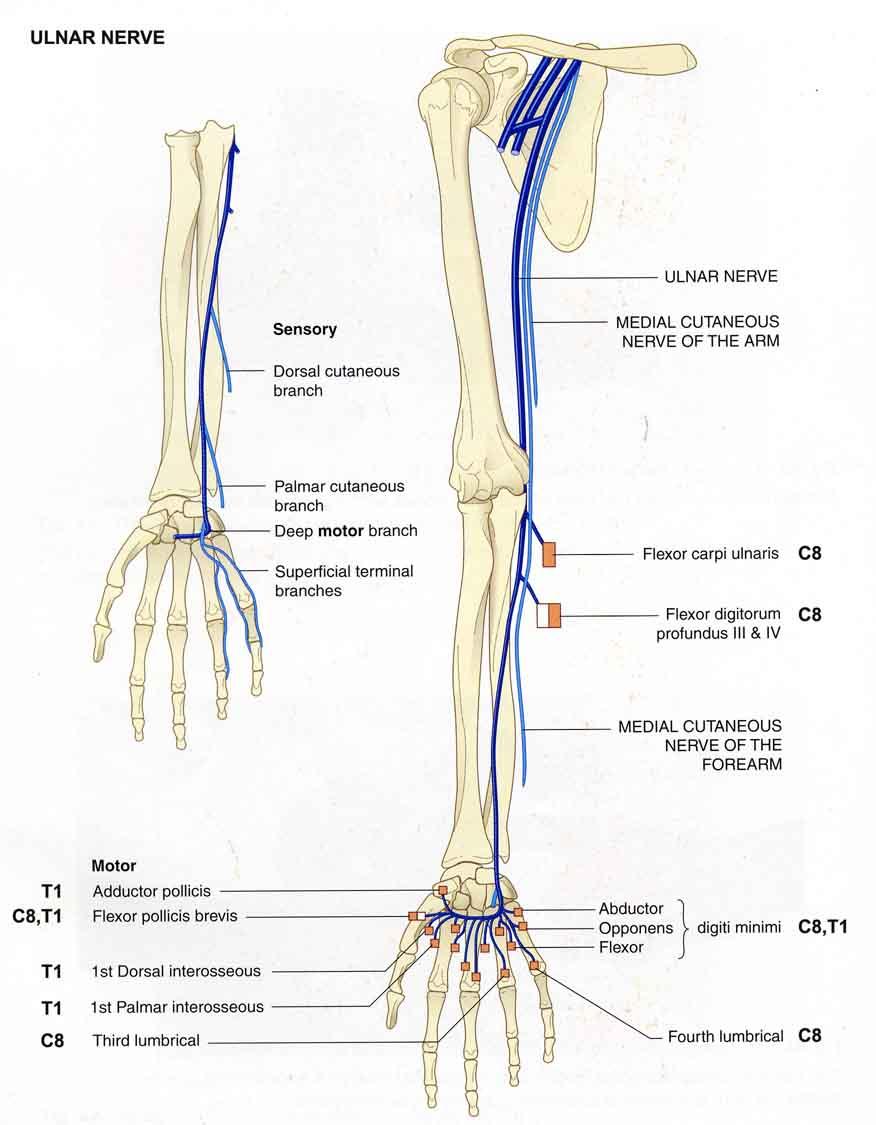 neuroanatomy / PeripheralNervousSystem